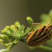 Fennel Beetle or Tiger in Disguise by evalieutionspics