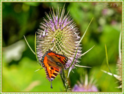 11th Aug 2017 - Small Tortoiseshell Butterfly And Teasel