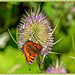 Small Tortoiseshell Butterfly And Teasel