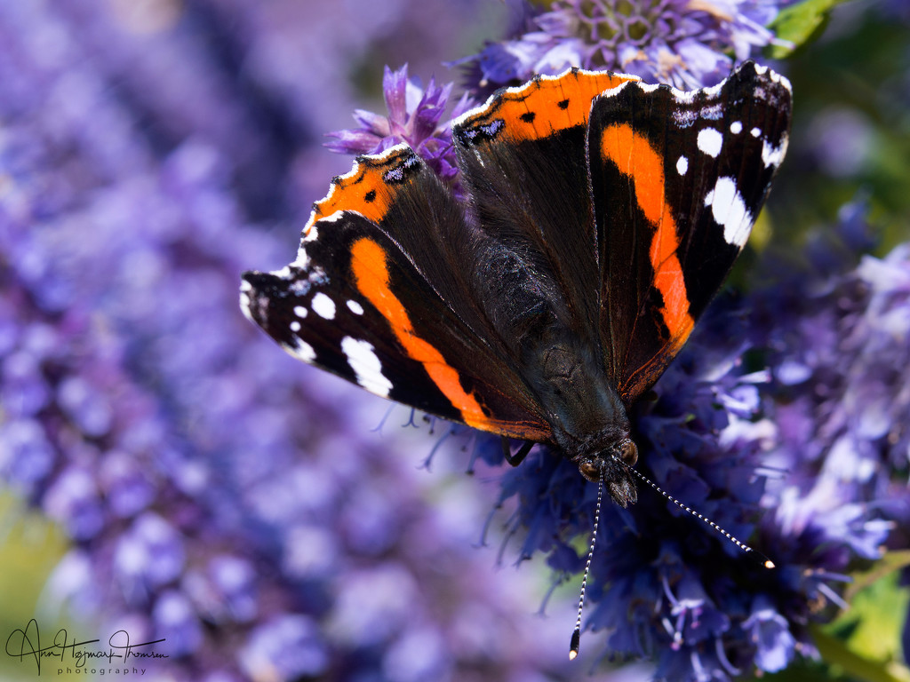 Red Admiral by atchoo