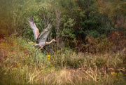 11th Aug 2017 - Sandhill Crane on the Move