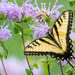 Eastern Tiger Swallowtail Landscape