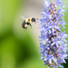 Bee and Pickerel Weed