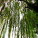 Underneath the weeping willow tree... by snowy