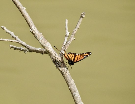 Butterfly on a branch by amyk
