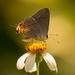 Grey Hairstreak Butterfly! by rickster549