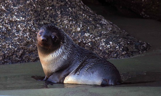 Young New Zealand fur seal by maureenpp