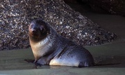 12th Aug 2017 - Young New Zealand fur seal