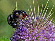 12th Aug 2017 - Busy Bee