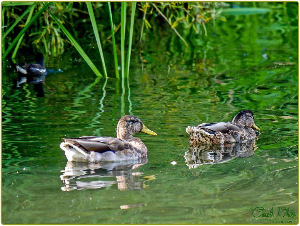 Two Little Ducks by carolmw