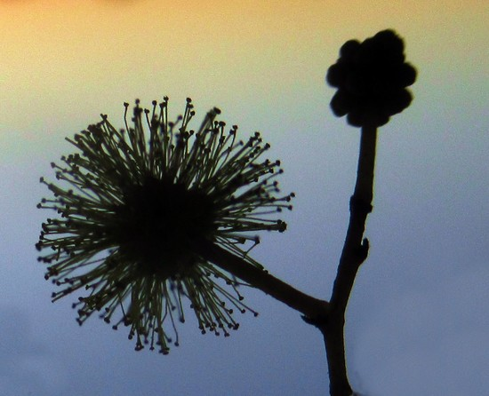 Wattle and bud by robz