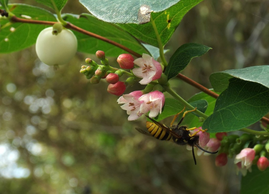 The Wasp and the Chicken Berry Bush by suzanne234