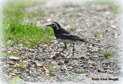 12th Aug 2017 - Pied wagtail
