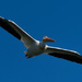 wingspan.....