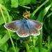 Elusive female blue by julienne1