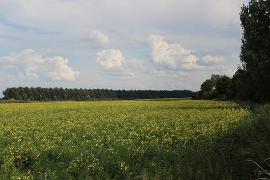 Oenothera field ( Dutch-Teunusbloem) by pyrrhula