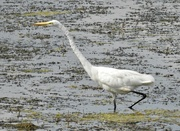 12th Aug 2017 - doing the egret dance