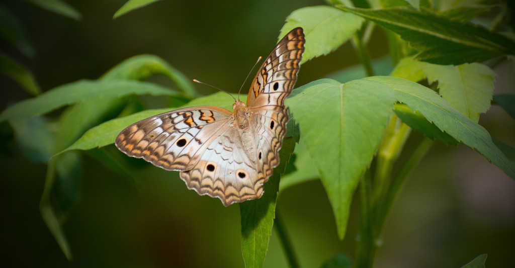 White Peacock Butterfly! by rickster549