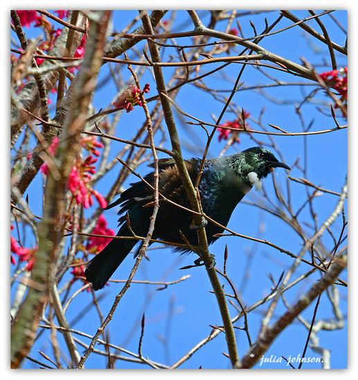 Tui in the Prunus Companulata... by julzmaioro