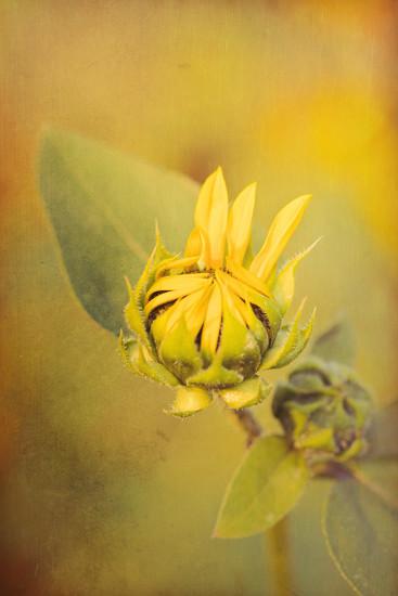 three petals by aecasey