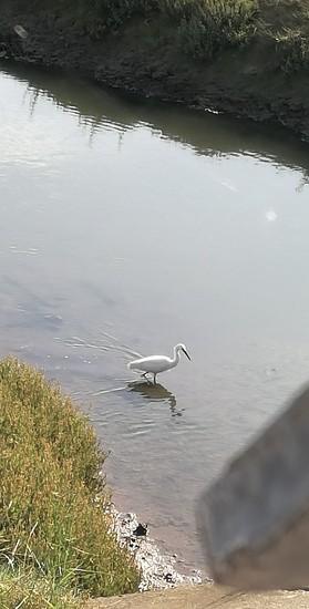 Egret by plainjaneandnononsense