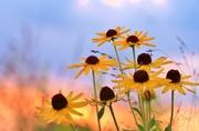 11th Aug 2017 - Prairie Flowers