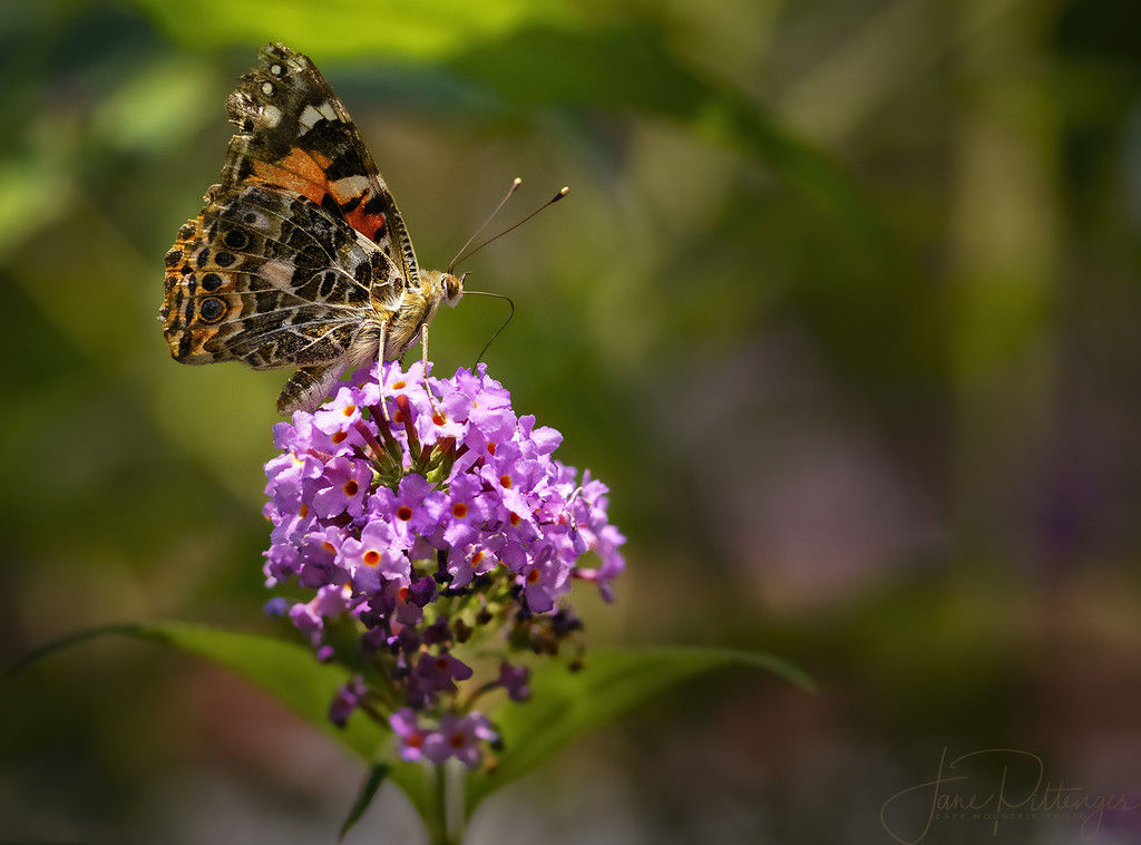 Painted Lady Sipping Cider Through A Straw by jgpittenger