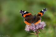 13th Aug 2017 - Red Admiral