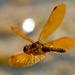 Orange Dragonfly in flight over water
