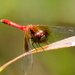 Small Red Dragonfly Landscape