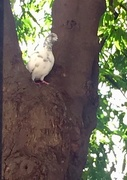 12th Aug 2017 - White pigeon in the Ashoka tree