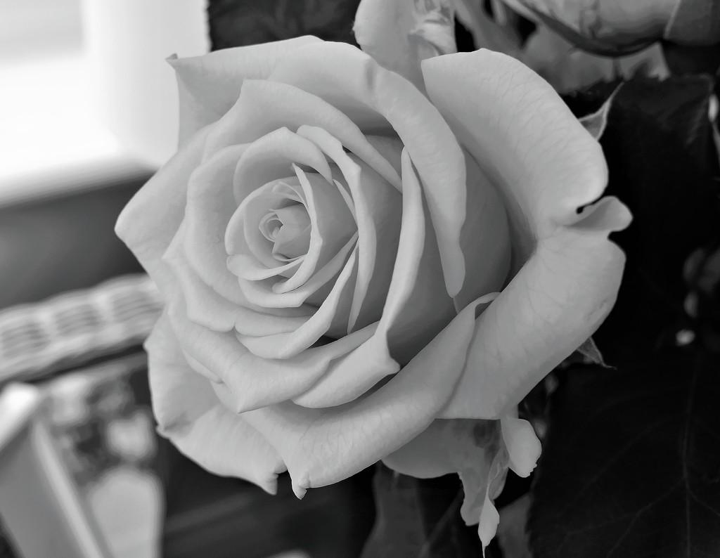 Friendship Rose by carole_sandford