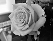 14th Aug 2017 - Friendship Rose