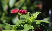 14th Aug 2017 - Pretty zinnia flower