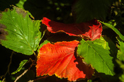 14th Aug 2017 - Red leaves