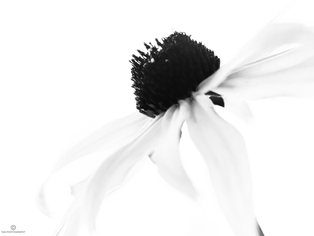 Black Eyed Susan by tosee
