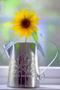 14th Aug 2017 - Sunflower in a metal pot!