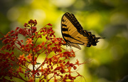 14th Aug 2017 - Eastern Tiger Swallowtail Butterfly!