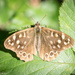 Sunbathing Speckled Wood