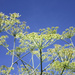 Blue sky and fennel