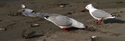 15th Aug 2017 - Redbilled gulls eating a frostfish