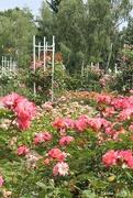 2nd Jul 2017 - Rose Garden