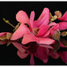 Magnolia Vulcan ... by julzmaioro