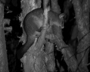16th Aug 2017 - Brush Tailed Possum