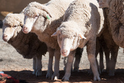 16th Aug 2017 - merino sheep - Bourke NSW