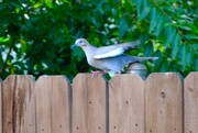 16th Aug 2017 - I am a White-winged Dove, not to be confused with a Mourning Dove