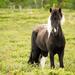 Icelandic horse again