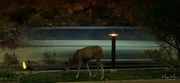 15th Aug 2017 - Deer on the road...