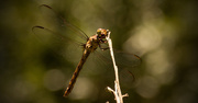 16th Aug 2017 - Dragonfly Singing Into the Microphone!