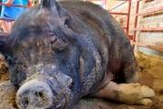 12th Aug 2017 - Biggest Boar